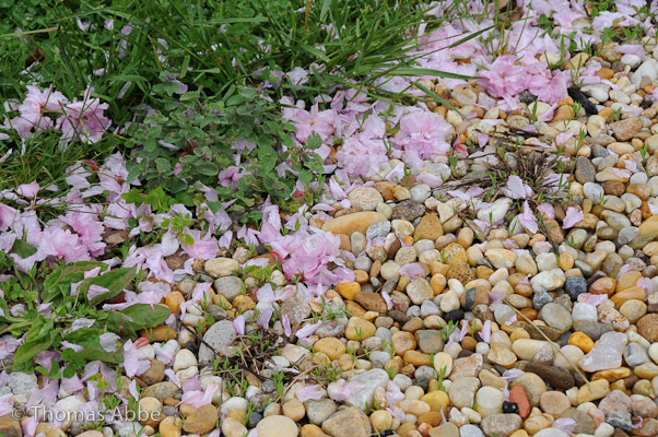 Blossoms on Gravel Path