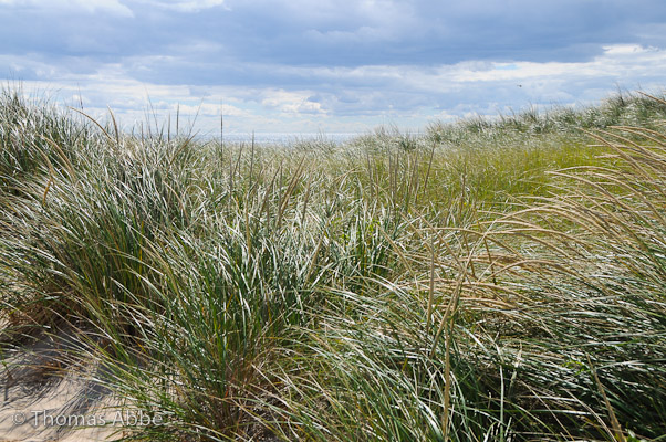 September Beach Grass